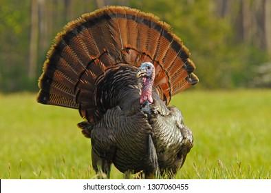 Strutting Tom Turkey