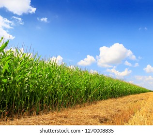 Stubble field after cutting grain and corn field