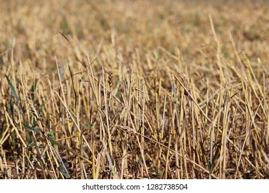 Stubble field after harvesting