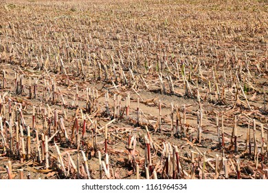 stubble field after harvesting in summer, mown maize field stubble in the midday sun