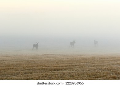 Stubble field in fog with mooses