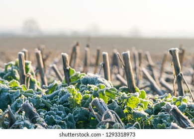 Stubble field with frozen corn crops in the winter on a cold morning