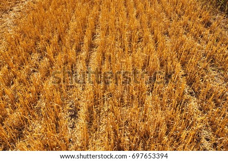 Stubble Harvested Wheat Field Closeup Mowed Stock Photo