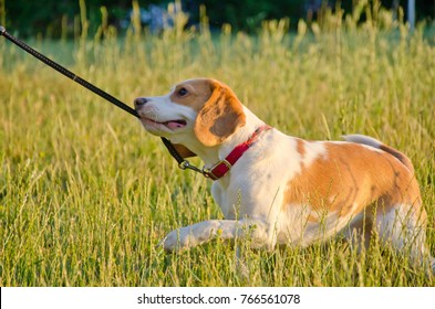 Stubborn beagle puppy pulling its leash with its teeth as if playing tug-of-war