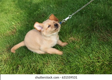 stubborn dog puppy tugs on leash