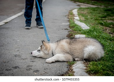 Stubborn husky puppy lying on the ground, refusing to get up and go home from the park. Insubordinate concept