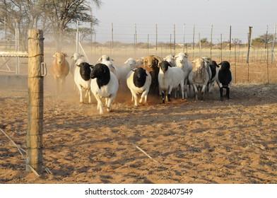 Stud Dorper Rams at Gate
