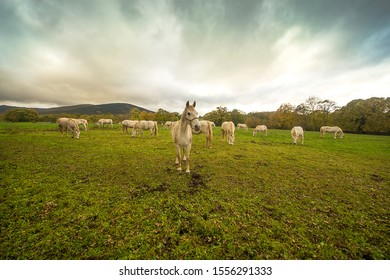 A stud of Lipizzaner horses on nice day in Lipica, Slovenia.