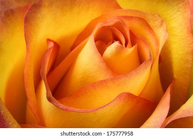 Studio closeup of a beautiful orange rose with flowing colors, shapes and contrasts
