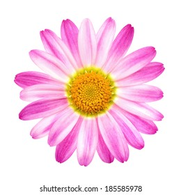 Studio closeup of a perfect pink daisy on pure white background