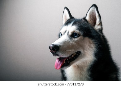 Studio close-up portrait of a husky dog.  Beautiful Siberian husky black and white color with blue eyes.