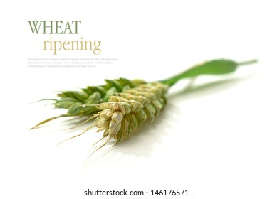 Studio macro with selective focus of unripened wheat kernels with soft shadows against a white background. Copy space.