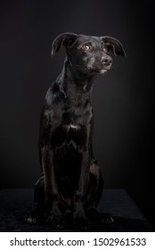 Studio photo of a black cross breed dog isolated against a black background