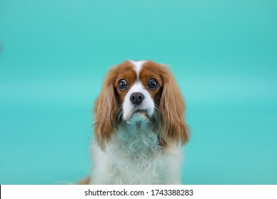 Studio Photo of Confused Cavalier King Charles Spaniel Female Dog on Solid Teal Backdrop