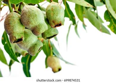 A studio photo of eucalyptus gum tree nuts