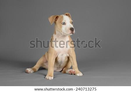 Studio Photo Female Pitbull Puppy Blue Stock Photo Edit Now