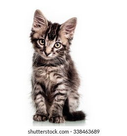 Studio photo of a two months old furry striped kitten, isolated on white.
