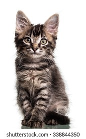 Studio photo of a two months old furry striped kitten sitting down, isolated on white.
