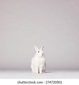 Studio photo of white rabbit on white background