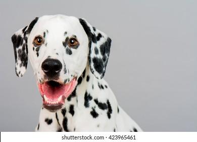 Studio photo of a young happy male Dalmatian dog