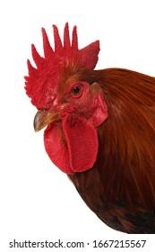 A studio photograph of a cockerel