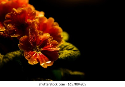 Studio photographie of isolated illuminated wet yellow ornage flower blossoms with rain drops, black background - primrose, primula acaulis (selective focus on raindrops of central petal)