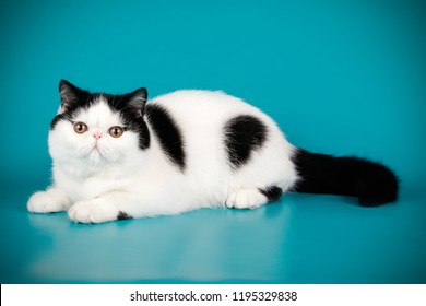 Studio photography of a exotic cat on colored backgrounds
