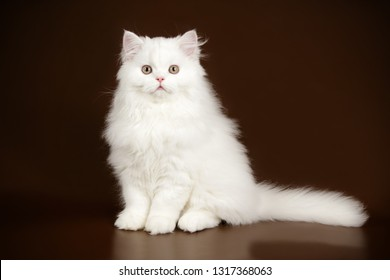 Studio photography of a scottish straight longhair cat on colored backgrounds