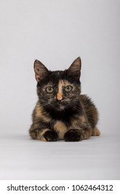 studio photography of a tortoiseshell cat