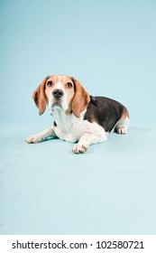 Studio portrait of beagle isolated on light blue background