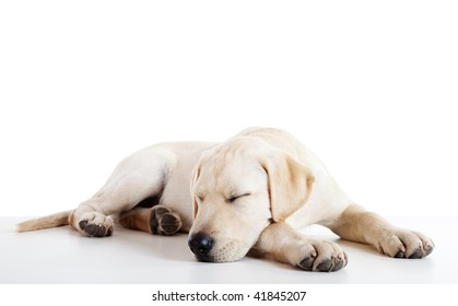 Studio portrait of a beautiful and cute labrador dog sleeping