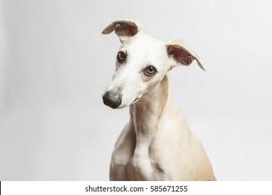 studio portrait of a beautiful whippet dog