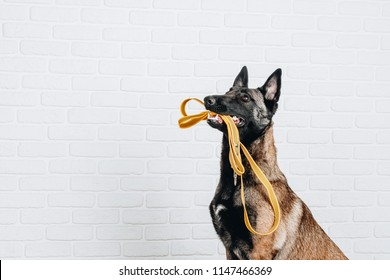 Studio portrait of a belgian shepherd malinois dog sitting and holding a yellow leash in mouth isolated on white background. Dog turned right.