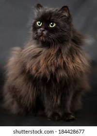 Studio portrait of black british long hair cat with green-yellow eyes on black background