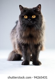 Studio portrait of black british long hair cat with yellow eyes isolated on grey background