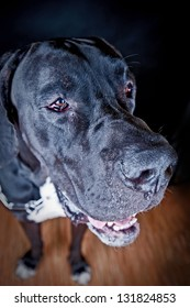 Studio portrait of black Great Dane Dog (danish dog) on black  background