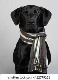Studio Portrait of a Black Labrador Retriever wearing a striped knit scarf