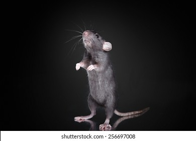 studio portrait of a brown domestic rat on a black background