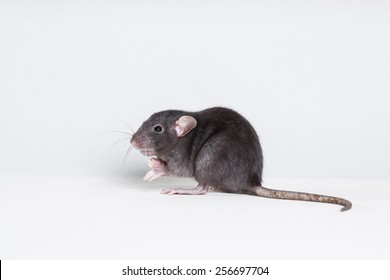 studio portrait of a brown domestic rat
