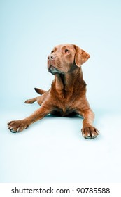 Studio portrait of brown labrador lying down isolated on light blue background
