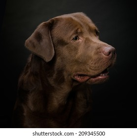 Studio Portrait of a Chocolate Labrador on Black Background