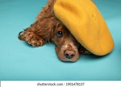Studio portrait of a cocker spaniel dog laying down. He is wearing a yellow beret. The background is blue.
