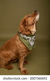 Studio portrait of a cocker spaniel dog sitting and looking upwards. He is wearing a green bandana and the background is olive green.