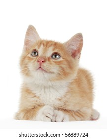 studio portrait of a cute domestic kitten
