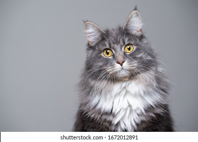 studio portrait of a cute gray white fluffy maine coon longhair cat tilting head looking at camera with copy space