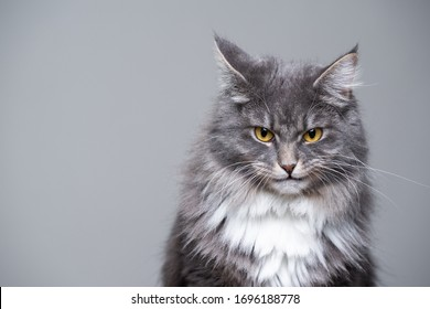 studio portrait of a cute gray white fluffy maine coon longhair cat making a funny face looking grumpy or angry with copy space