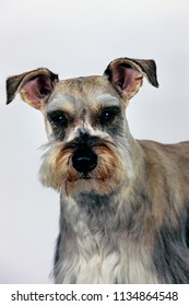 A studio portrait of a cute miniature schnauzer.against a hwite background.