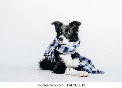 Studio portrait of a cute puppy dog border collie with checkered scarf around the neck isolated on white background. Dog in clothes.