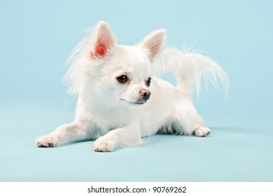 Studio portrait of cute white chihuahua puppy lying down isolated on light blue background