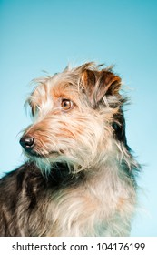 Studio portrait of cute yorkshire terrier isolated on light blue background